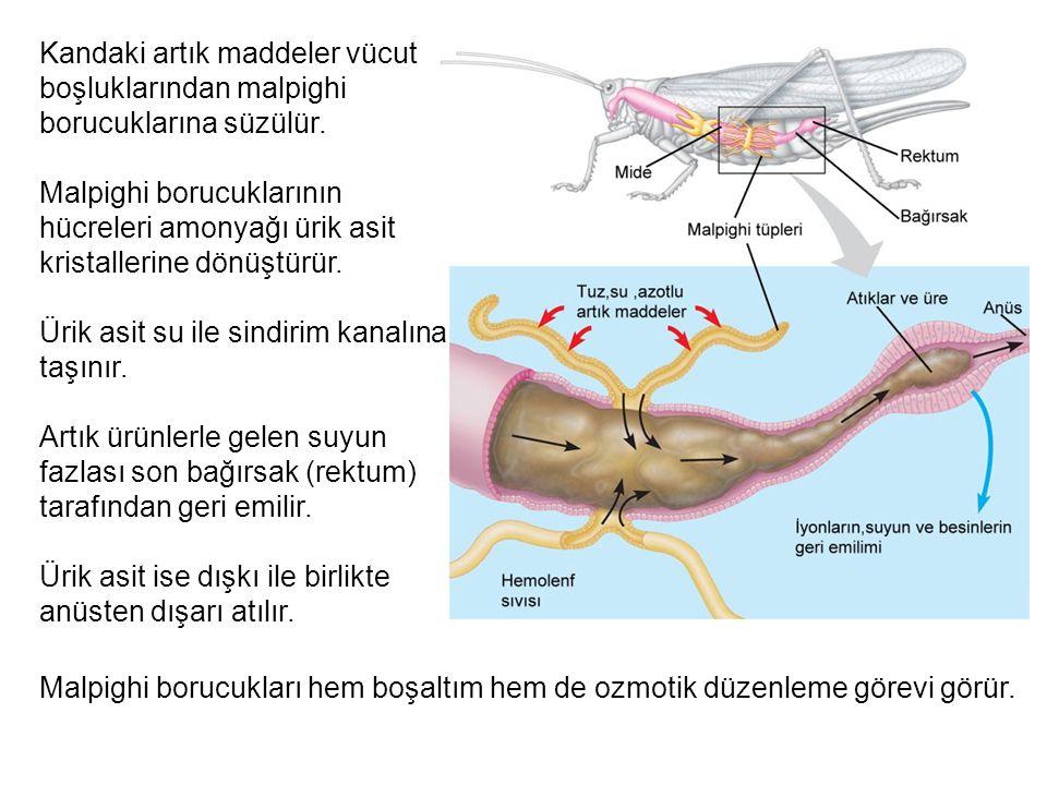 Kandaki artık maddeler vücut boşluklarından malpighi borucuklarına süzülür. Malpighi borucuklarının hücreleri amonyağı ürik asit kristallerine dönüştü