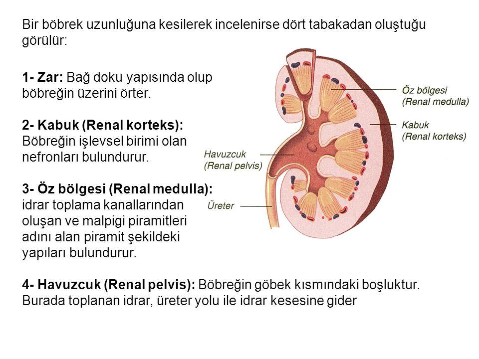 Bir böbrek uzunluğuna kesilerek incelenirse dört tabakadan oluştuğu görülür: 1- Zar: Bağ doku yapısında olup böbreğin üzerini örter. 2- Kabuk (Renal k