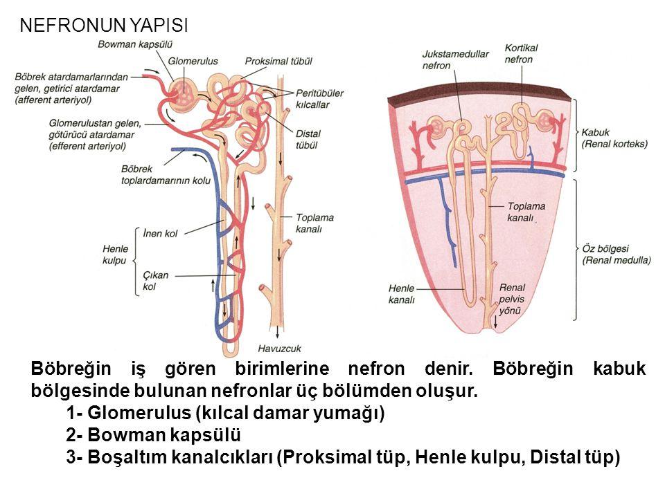 NEFRONUN YAPISI Böbreğin iş gören birimlerine nefron denir. Böbreğin kabuk bölgesinde bulunan nefronlar üç bölümden oluşur. 1- Glomerulus (kılcal dama