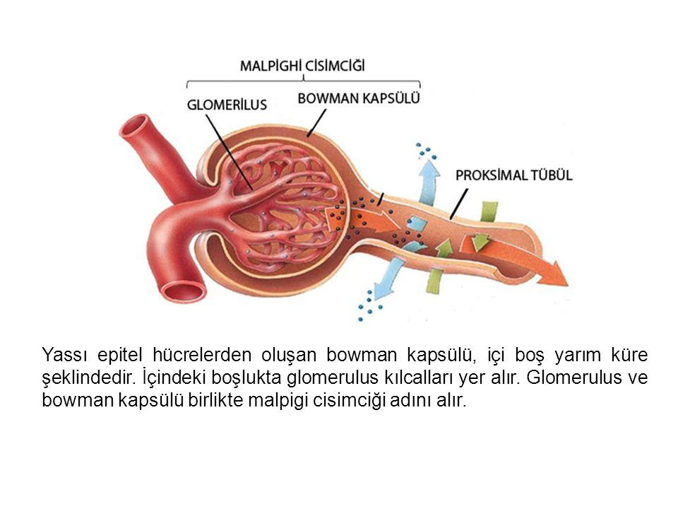 Yassı epitel hücrelerden oluşan bowman kapsülü, içi boş yarım küre şeklindedir. İçindeki boşlukta glomerulus kılcalları yer alır. Glomerulus ve bowman