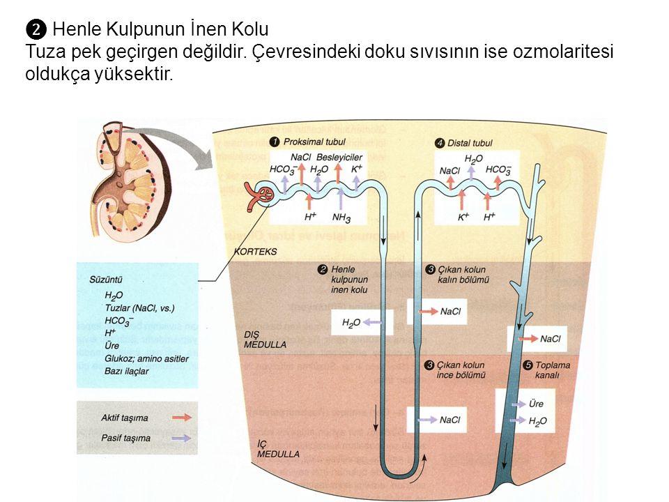 ❷ Henle Kulpunun İnen Kolu Tuza pek geçirgen değildir. Çevresindeki doku sıvısının ise ozmolaritesi oldukça yüksektir.