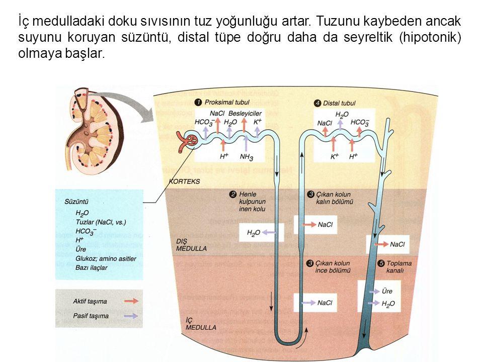 İç medulladaki doku sıvısının tuz yoğunluğu artar. Tuzunu kaybeden ancak suyunu koruyan süzüntü, distal tüpe doğru daha da seyreltik (hipotonik) olma