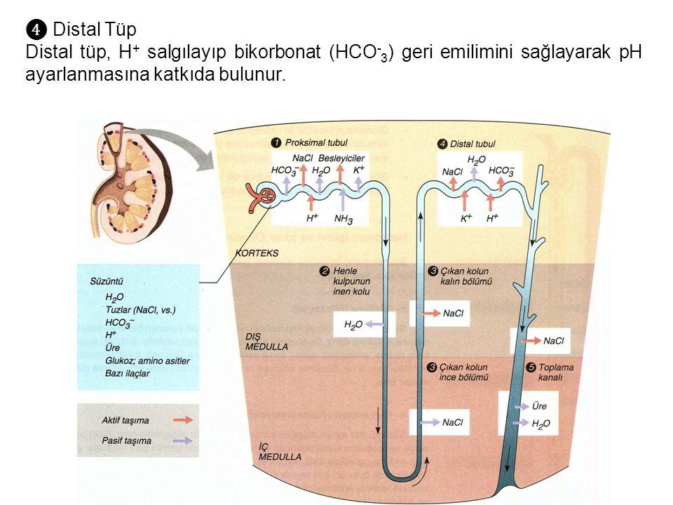 ❹ Distal Tüp Distal tüp, H + salgılayıp bikorbonat (HCO - 3 ) geri emilimini sağlayarak pH ayarlanmasına katkıda bulunur.
