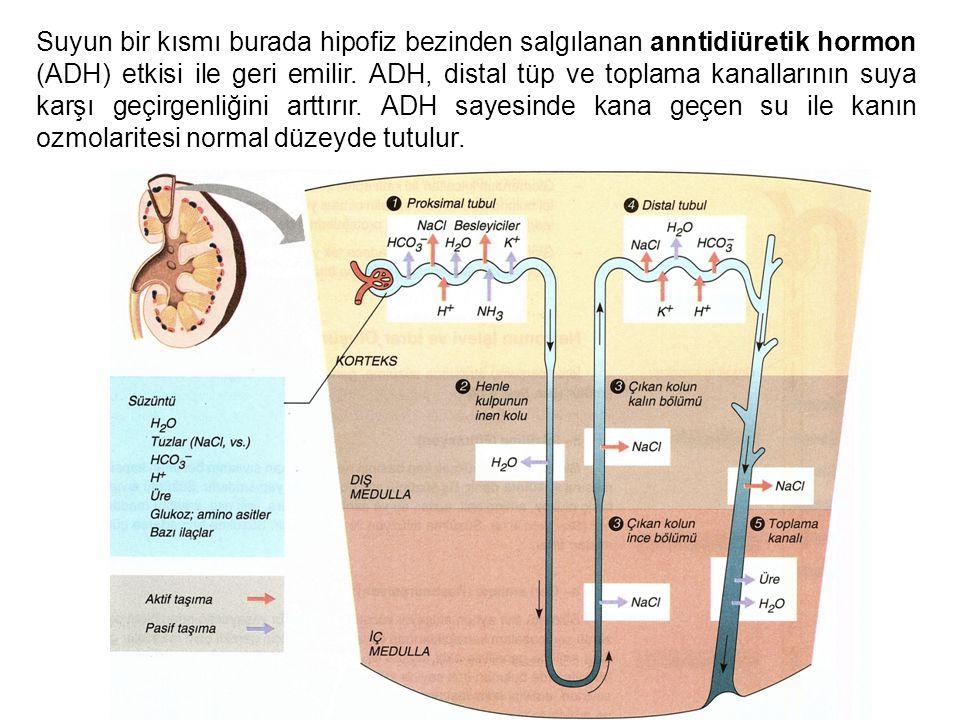 Suyun bir kısmı burada hipofiz bezinden salgılanan anntidiüretik hormon (ADH) etkisi ile geri emilir. ADH, distal tüp ve toplama kanallarının suya kar