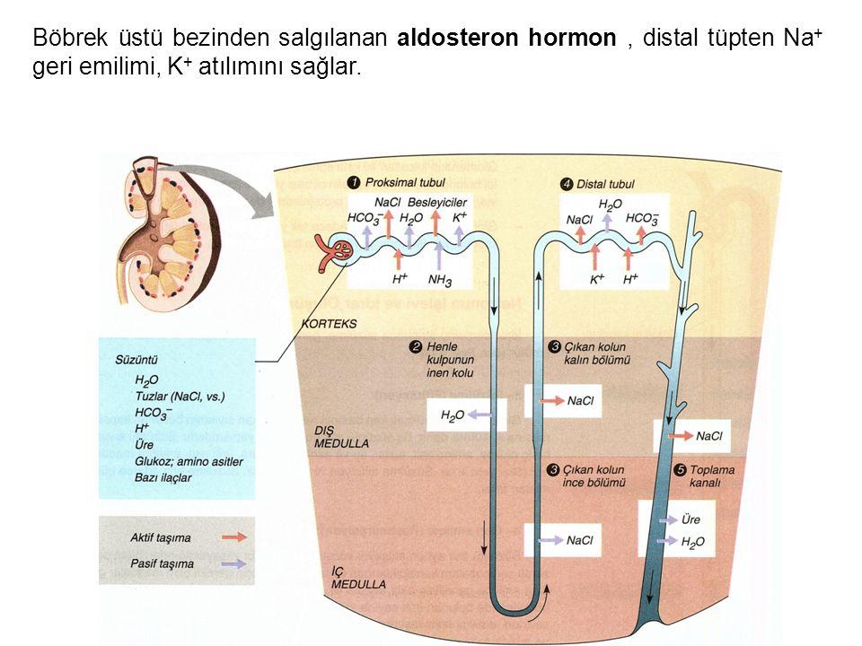 Böbrek üstü bezinden salgılanan aldosteron hormon, distal tüpten Na + geri emilimi, K + atılımını sağlar.