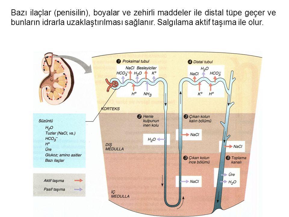 Bazı ilaçlar (penisilin), boyalar ve zehirli maddeler ile distal tüpe geçer ve bunların idrarla uzaklaştırılması sağlanır. Salgılama aktif taşıma ile