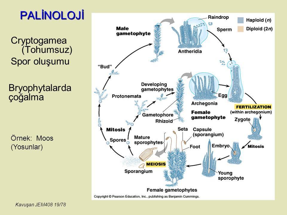 PALİNOLOJİ Cryptogamea (Tohumsuz) Spor oluşumu Bryophytalarda çoğalma Örnek: Moos (Yosunlar) Kavuşan JEM408 19/78