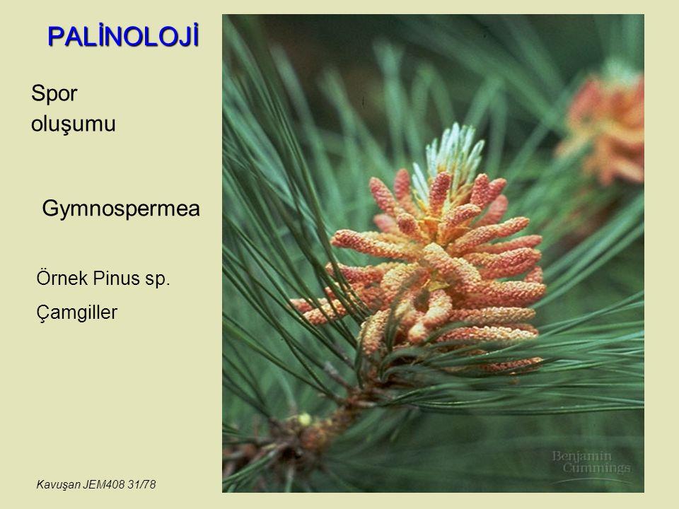 PALİNOLOJİ Spor oluşumu Gymnospermea Örnek Pinus sp. Çamgiller Kavuşan JEM408 31/78