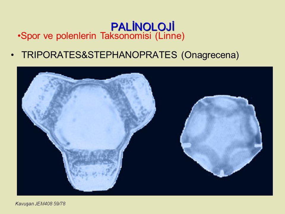 PALİNOLOJİ TRIPORATES&STEPHANOPRATES (Onagrecena) Spor ve polenlerin Taksonomisi (Linne) Kavuşan JEM408 59/78