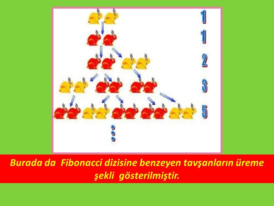 Burada da Fibonacci dizisine benzeyen tavşanların üreme şekli gösterilmiştir.