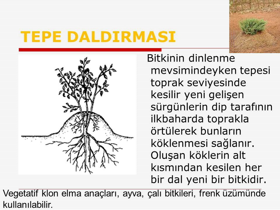 TEPE DALDIRMASI Bitkinin dinlenme mevsimindeyken tepesi toprak seviyesinde kesilir yeni gelişen sürgünlerin dip tarafının ilkbaharda toprakla örtülerek bunların köklenmesi sağlanır.