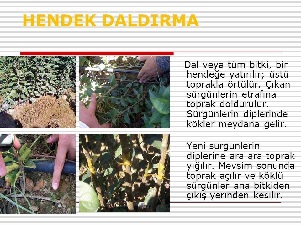 HENDEK DALDIRMA Dal veya tüm bitki, bir hendeğe yatırılır; üstü toprakla örtülür. Çıkan sürgünlerin etrafına toprak doldurulur. Sürgünlerin diplerinde