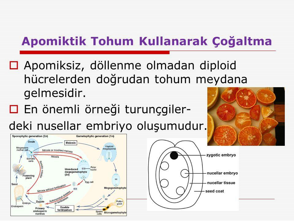Apomiktik Tohum Kullanarak Çoğaltma  Apomiksiz, döllenme olmadan diploid hücrelerden doğrudan tohum meydana gelmesidir.  En önemli örneği turunçgile