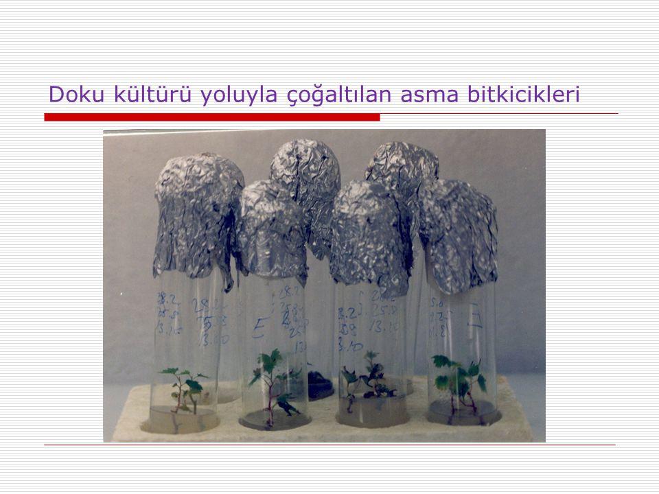 Doku kültürü yoluyla çoğaltılan asma bitkicikleri