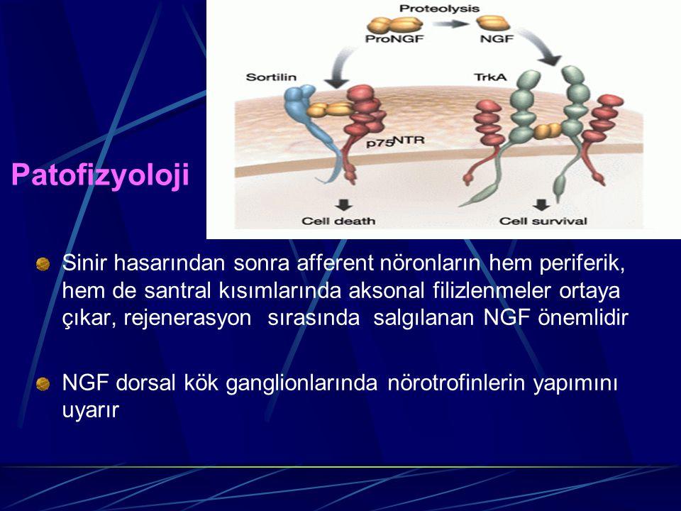 Patofizyoloji Sinir hasarından sonra afferent nöronların hem periferik, hem de santral kısımlarında aksonal filizlenmeler ortaya çıkar, rejenerasyon s