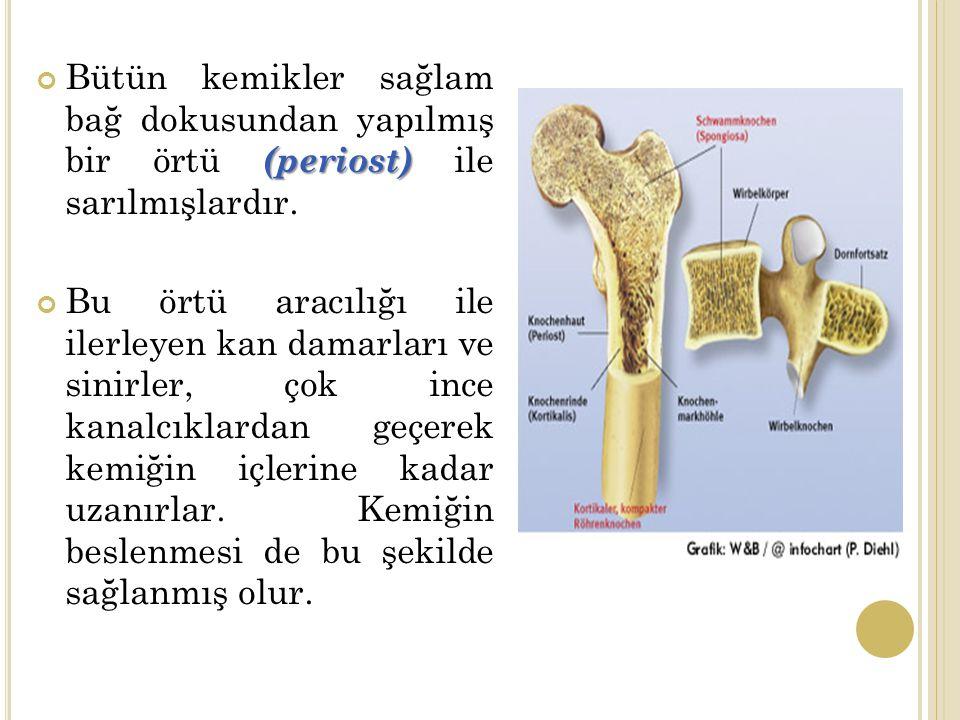 (periost) Bütün kemikler sağlam bağ dokusundan yapılmış bir örtü (periost) ile sarılmışlardır.
