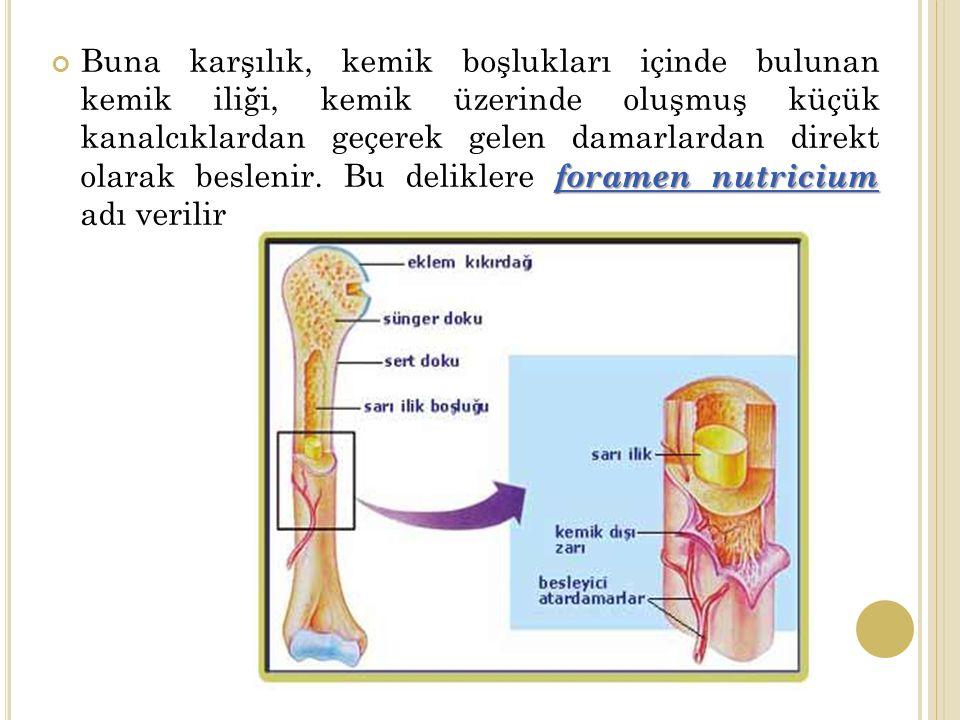 foramen nutricium Buna karşılık, kemik boşlukları içinde bulunan kemik iliği, kemik üzerinde oluşmuş küçük kanalcıklardan geçerek gelen damarlardan direkt olarak beslenir.