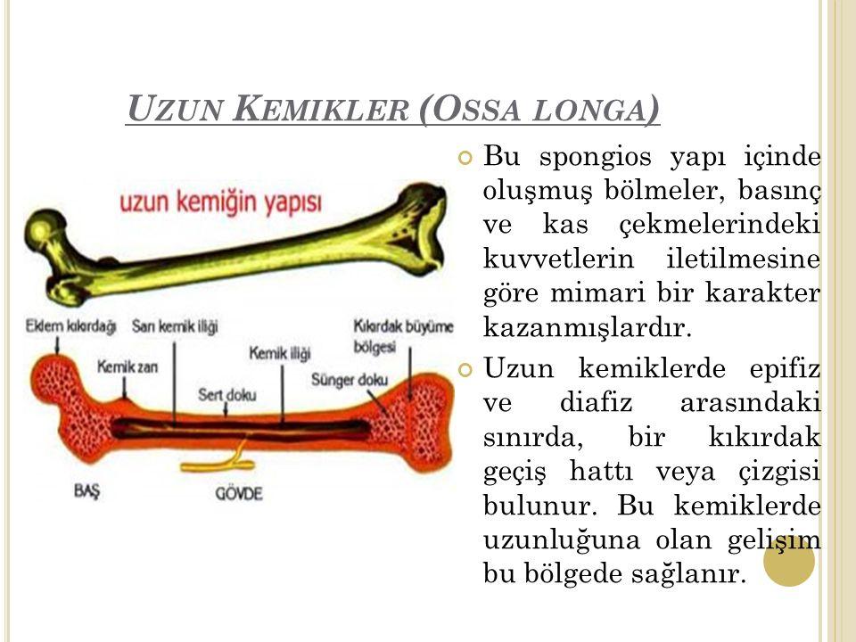 U ZUN K EMIKLER (O SSA LONGA ) Bu spongios yapı içinde oluşmuş bölmeler, basınç ve kas çekmelerindeki kuvvetlerin iletilmesine göre mimari bir karakter kazanmışlardır.