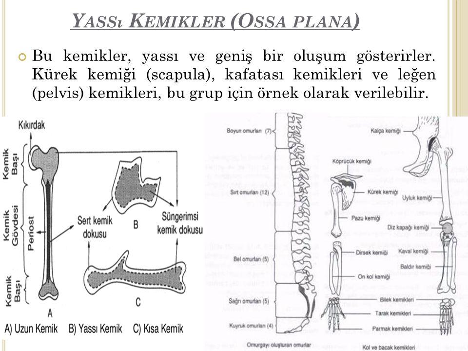 Y ASSı K EMIKLER (O SSA PLANA ) Bu kemikler, yassı ve geniş bir oluşum gösterirler.