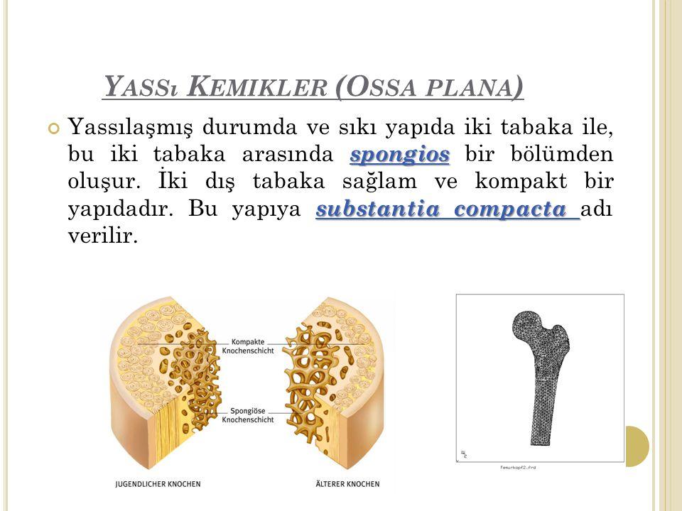 Y ASSı K EMIKLER (O SSA PLANA ) spongios substantia compacta Yassılaşmış durumda ve sıkı yapıda iki tabaka ile, bu iki tabaka arasında spongios bir bölümden oluşur.