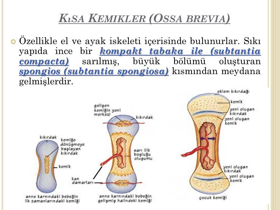 K ıSA K EMIKLER (O SSA BREVIA ) kompakt tabaka ile (subtantia compacta) spongios (subtantia spongiosa) Özellikle el ve ayak iskeleti içerisinde bulunurlar.