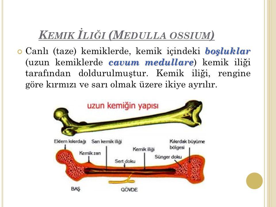 K EMIK İ LIĞI (M EDULLA OSSIUM ) boşluklar cavum medullare Canlı (taze) kemiklerde, kemik içindeki boşluklar (uzun kemiklerde cavum medullare ) kemik iliği tarafından doldurulmuştur.
