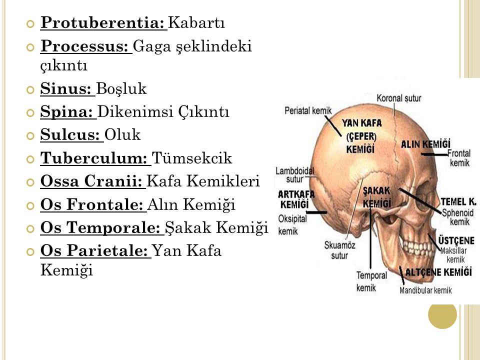 Protuberentia: Kabartı Processus: Gaga şeklindeki çıkıntı Sinus: Boşluk Spina: Dikenimsi Çıkıntı Sulcus: Oluk Tuberculum: Tümsekcik Ossa Cranii: Kafa Kemikleri Os Frontale: Alın Kemiği Os Temporale: Şakak Kemiği Os Parietale: Yan Kafa Kemiği