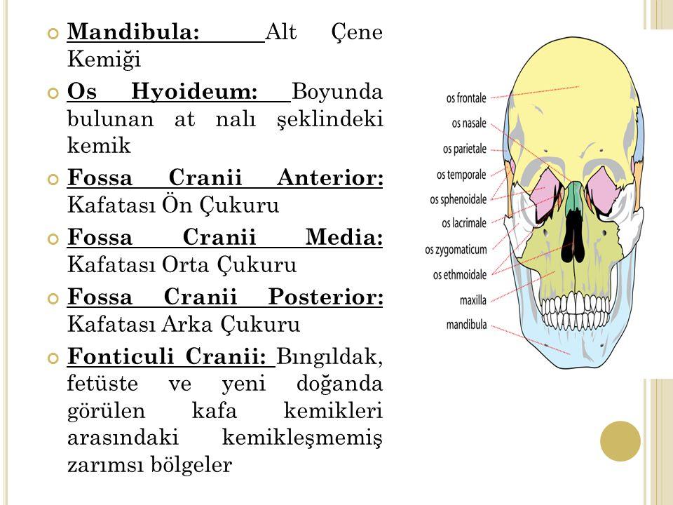 Mandibula: Alt Çene Kemiği Os Hyoideum: Boyunda bulunan at nalı şeklindeki kemik Fossa Cranii Anterior: Kafatası Ön Çukuru Fossa Cranii Media: Kafatası Orta Çukuru Fossa Cranii Posterior: Kafatası Arka Çukuru Fonticuli Cranii: Bıngıldak, fetüste ve yeni doğanda görülen kafa kemikleri arasındaki kemikleşmemiş zarımsı bölgeler
