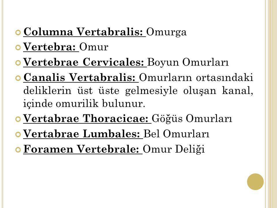 Columna Vertabralis: Omurga Vertebra: Omur Vertebrae Cervicales: Boyun Omurları Canalis Vertabralis: Omurların ortasındaki deliklerin üst üste gelmesiyle oluşan kanal, içinde omurilik bulunur.