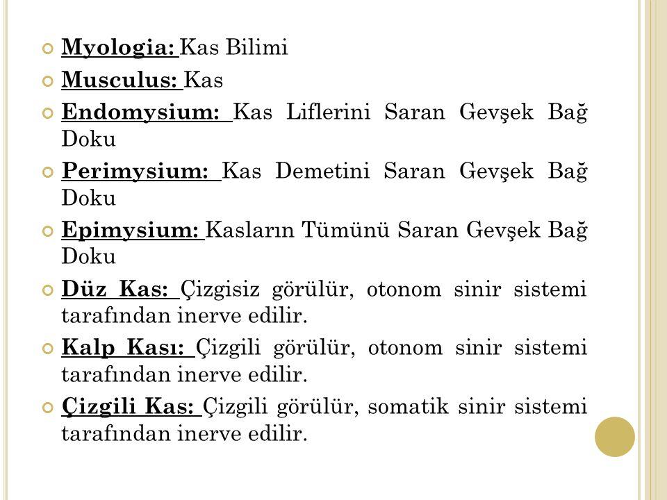 Myologia: Kas Bilimi Musculus: Kas Endomysium: Kas Liflerini Saran Gevşek Bağ Doku Perimysium: Kas Demetini Saran Gevşek Bağ Doku Epimysium: Kasların Tümünü Saran Gevşek Bağ Doku Düz Kas: Çizgisiz görülür, otonom sinir sistemi tarafından inerve edilir.