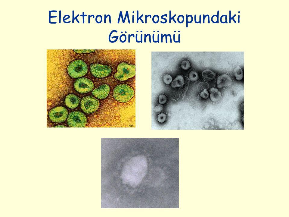 Elektron Mikroskopundaki Görünümü