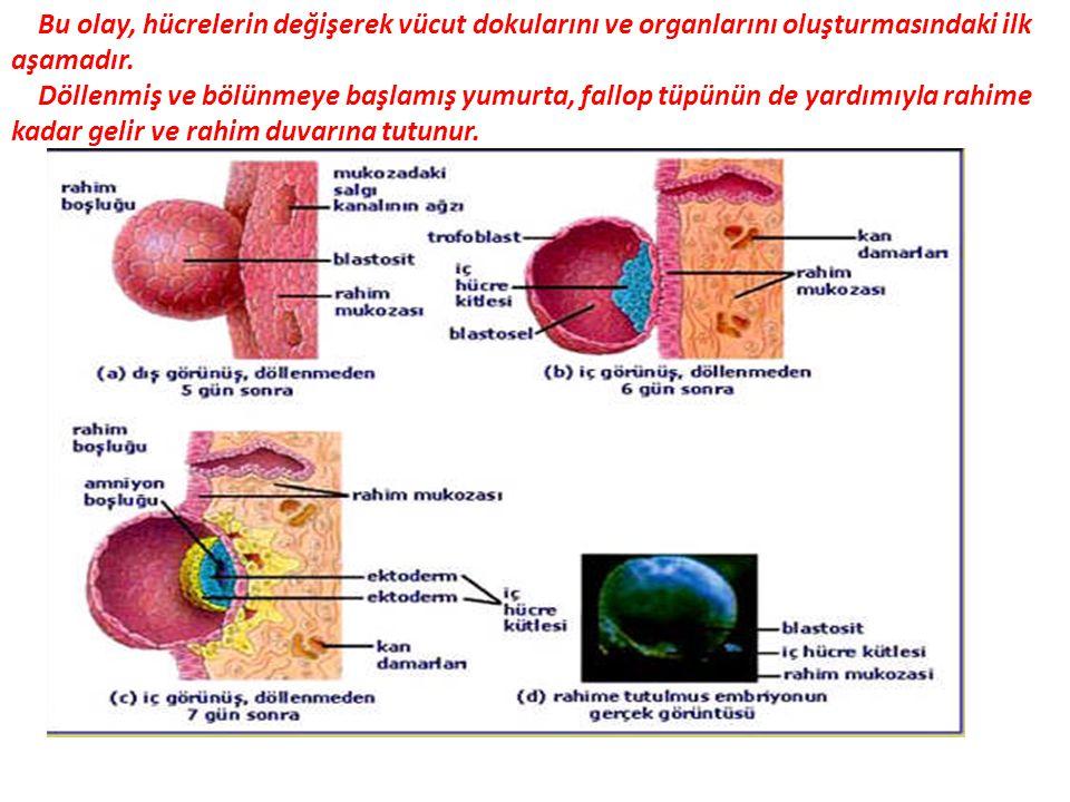 Bu olay, hücrelerin değişerek vücut dokularını ve organlarını oluşturmasındaki ilk aşamadır. Döllenmiş ve bölünmeye başlamış yumurta, fallop tüpünün d