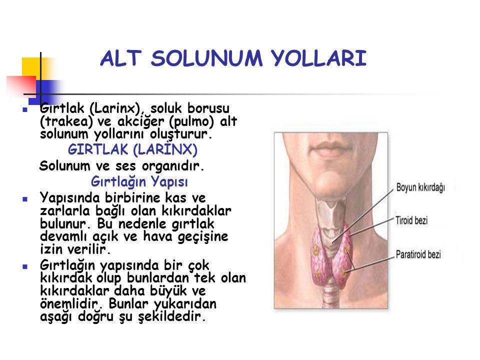 ALT SOLUNUM YOLLARI Gırtlak (Larinx), soluk borusu (trakea) ve akciğer (pulmo) alt solunum yollarını oluşturur. GIRTLAK (LARİNX) Solunum ve ses organı