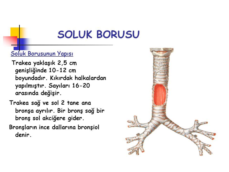SOLUK BORUSU Soluk Borusunun Yapısı Trakea yaklaşık 2,5 cm genişliğinde 10-12 cm boyundadır. Kıkırdak halkalardan yapılmıştır. Sayıları 16-20 arasında