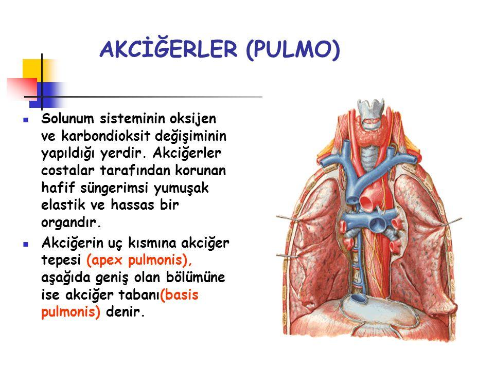 AKCİĞERLER (PULMO) Solunum sisteminin oksijen ve karbondioksit değişiminin yapıldığı yerdir. Akciğerler costalar tarafından korunan hafif süngerimsi y