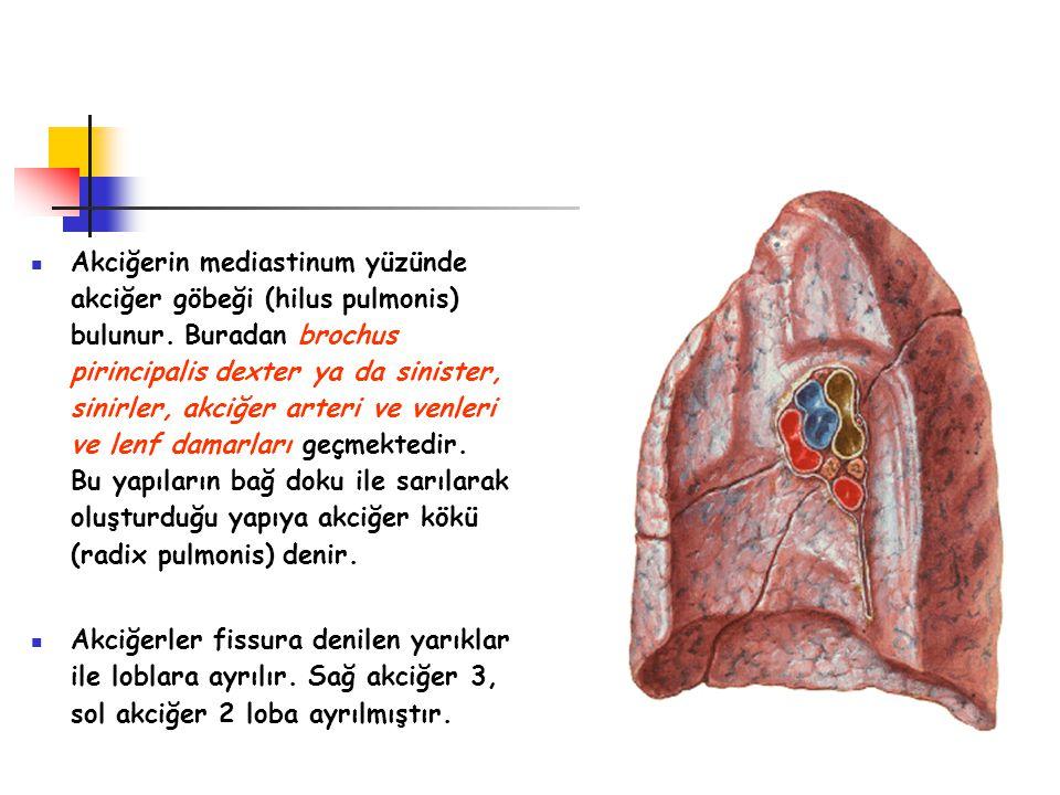 Akciğerin mediastinum yüzünde akciğer göbeği (hilus pulmonis) bulunur. Buradan brochus pirincipalis dexter ya da sinister, sinirler, akciğer arteri ve