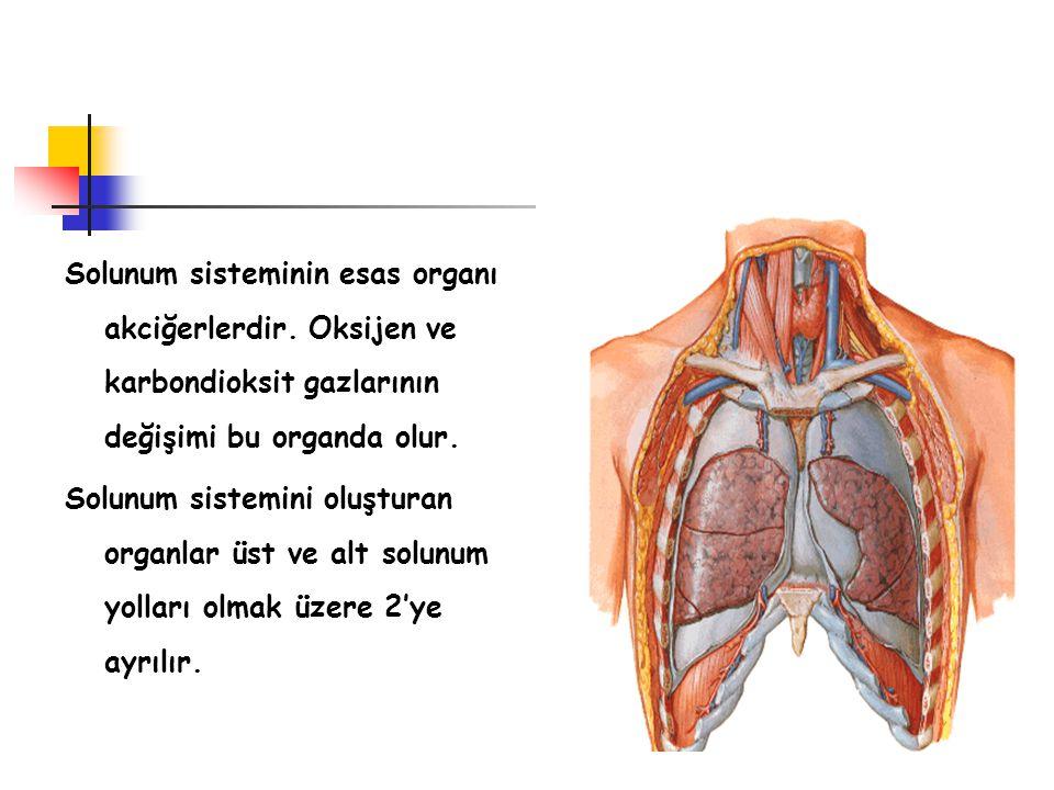 Solunum sisteminin esas organı akciğerlerdir. Oksijen ve karbondioksit gazlarının değişimi bu organda olur. Solunum sistemini oluşturan organlar üst v