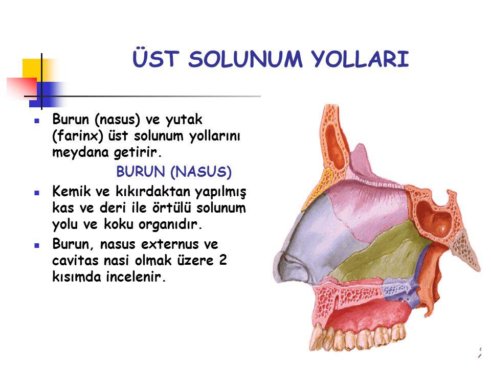 ÜST SOLUNUM YOLLARI Burun (nasus) ve yutak (farinx) üst solunum yollarını meydana getirir. BURUN (NASUS) Kemik ve kıkırdaktan yapılmış kas ve deri ile