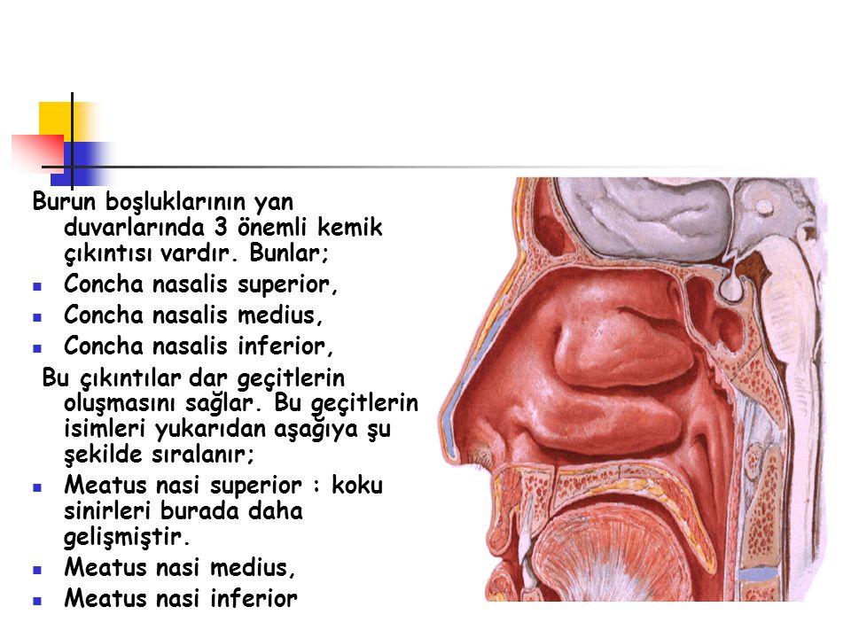 Burun boşluklarının yan duvarlarında 3 önemli kemik çıkıntısı vardır. Bunlar; Concha nasalis superior, Concha nasalis medius, Concha nasalis inferior,