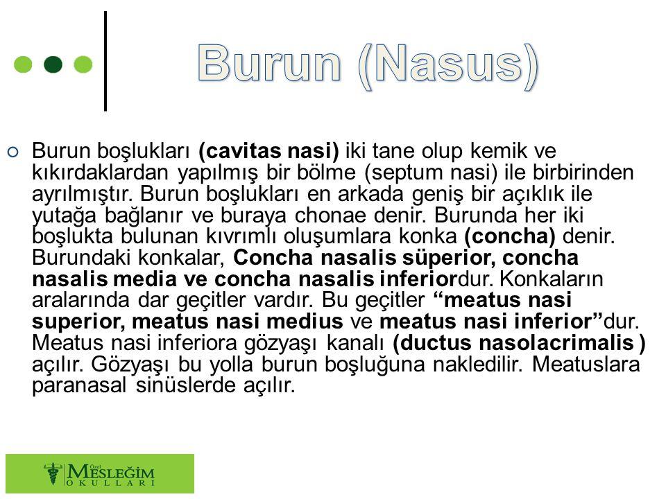 ○ Burun boşlukları (cavitas nasi) iki tane olup kemik ve kıkırdaklardan yapılmış bir bölme (septum nasi) ile birbirinden ayrılmıştır.