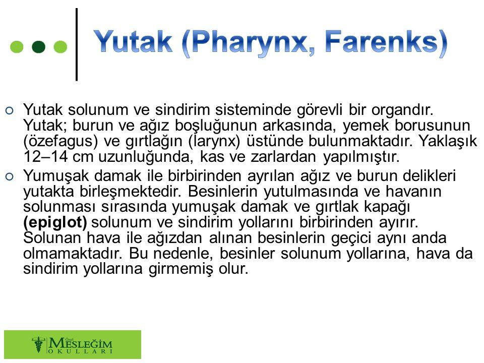 ○ Yutak solunum ve sindirim sisteminde görevli bir organdır.