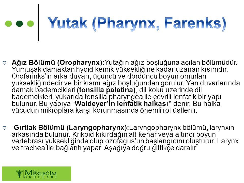 ○ Ağız Bölümü (Oropharynx):Yutağın ağız boşluğuna açılan bölümüdür.