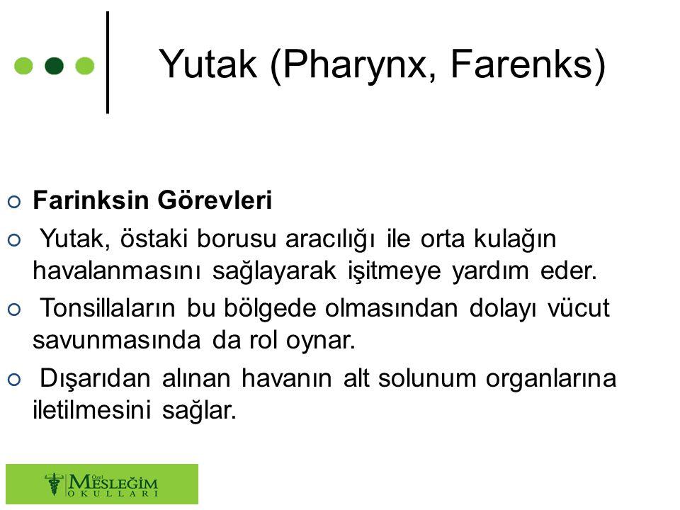 Yutak (Pharynx, Farenks) ○ Farinksin Görevleri ○ Yutak, östaki borusu aracılığı ile orta kulağın havalanmasını sağlayarak işitmeye yardım eder.