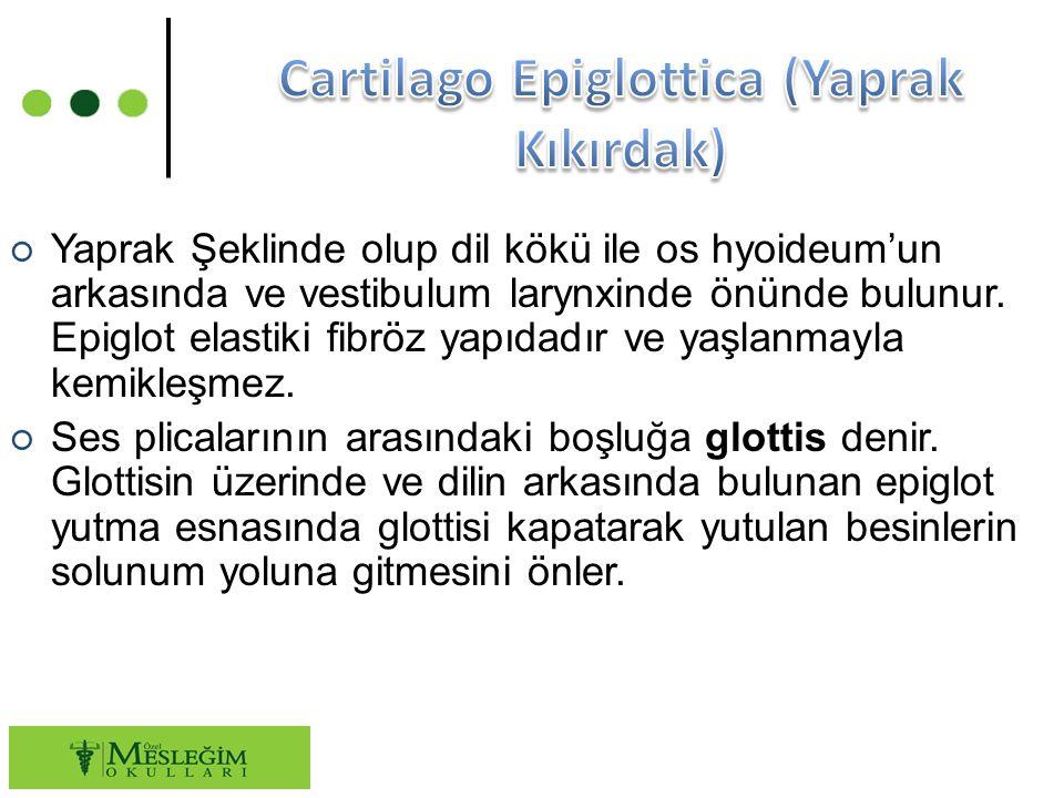 ○ Yaprak Şeklinde olup dil kökü ile os hyoideum'un arkasında ve vestibulum larynxinde önünde bulunur.