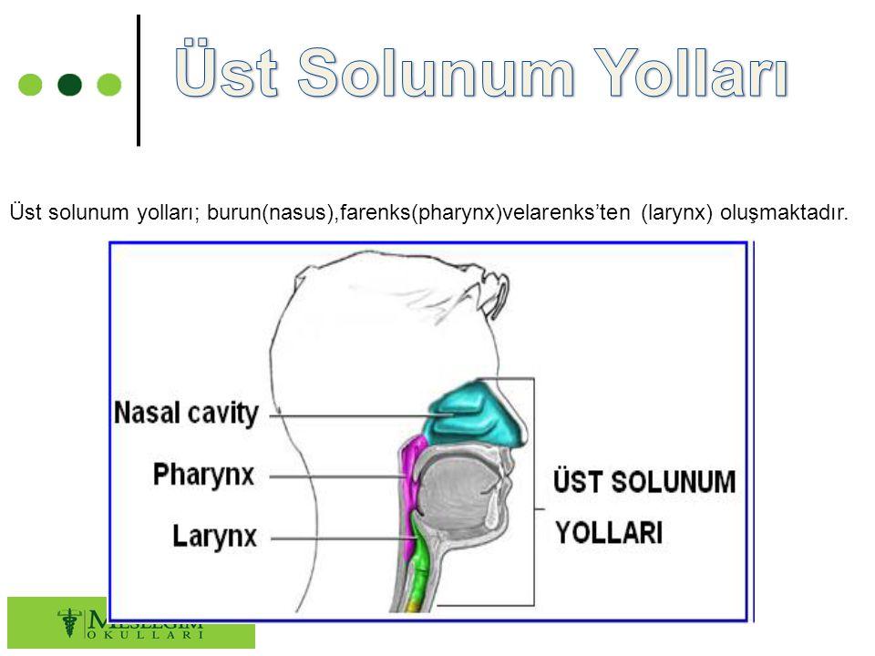 Üst solunum yolları; burun(nasus),farenks(pharynx)velarenks'ten (larynx) oluşmaktadır.