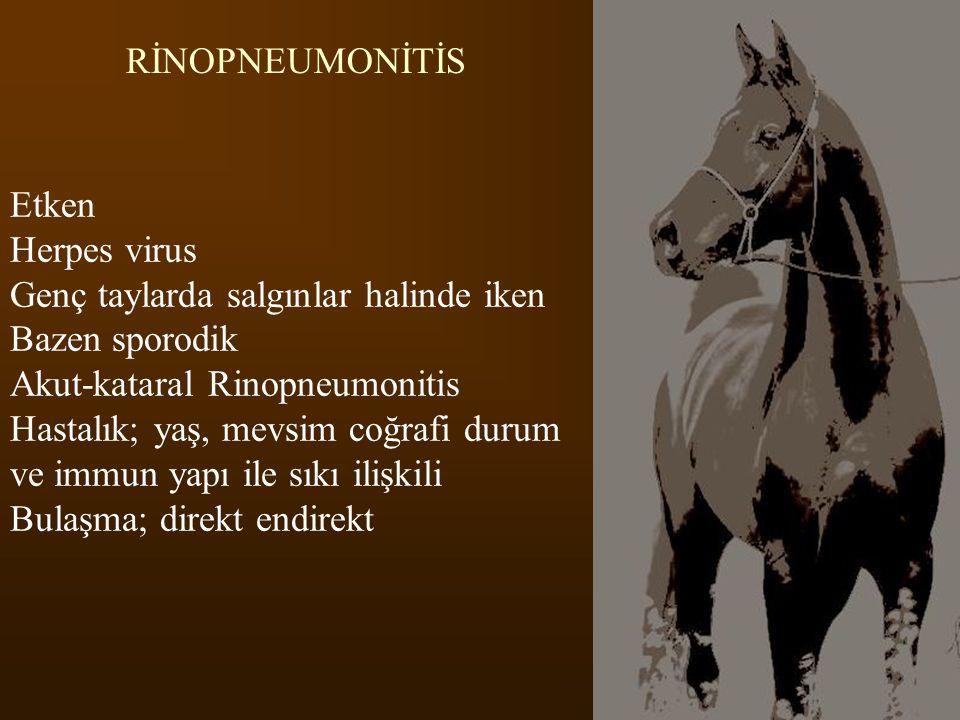 RİNOPNEUMONİTİS Etken Herpes virus Genç taylarda salgınlar halinde iken Bazen sporodik Akut-kataral Rinopneumonitis Hastalık; yaş, mevsim coğrafi duru