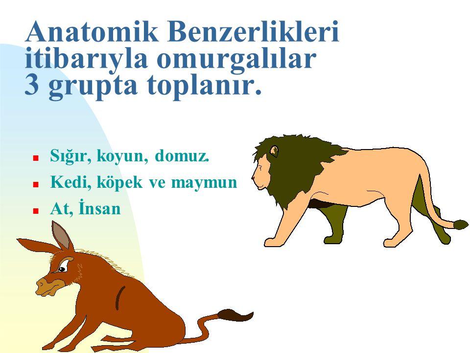 Anatomik Benzerlikleri itibarıyla omurgalılar 3 grupta toplanır. n Sığır, koyun, domuz. n Kedi, köpek ve maymun n At, İnsan