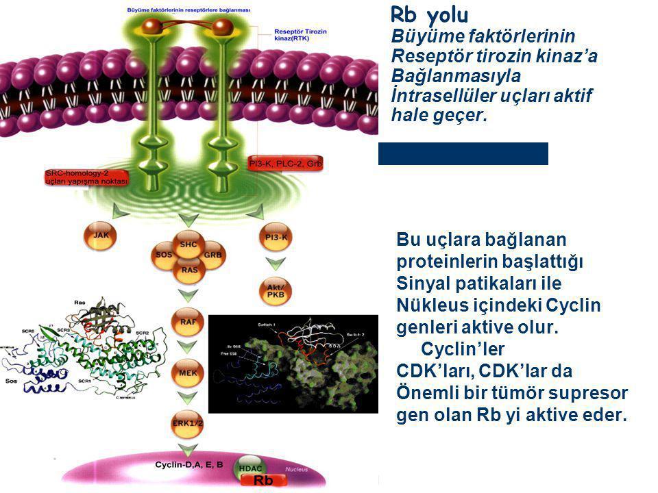 Dr.Ercüment TARCAN Rb yolu Büyüme faktörlerinin Reseptör tirozin kinaz'a Bağlanmasıyla İntrasellüler uçları aktif hale geçer. Bu uçlara bağlanan prote