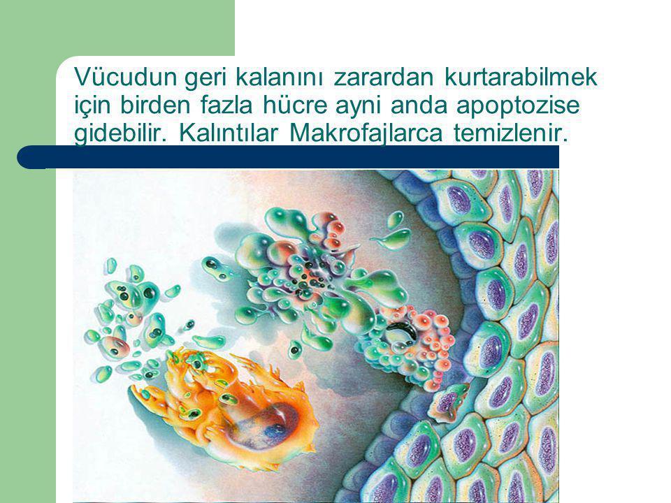 Dr.Ercüment TARCAN Vücudun geri kalanını zarardan kurtarabilmek için birden fazla hücre ayni anda apoptozise gidebilir. Kalıntılar Makrofajlarca temiz