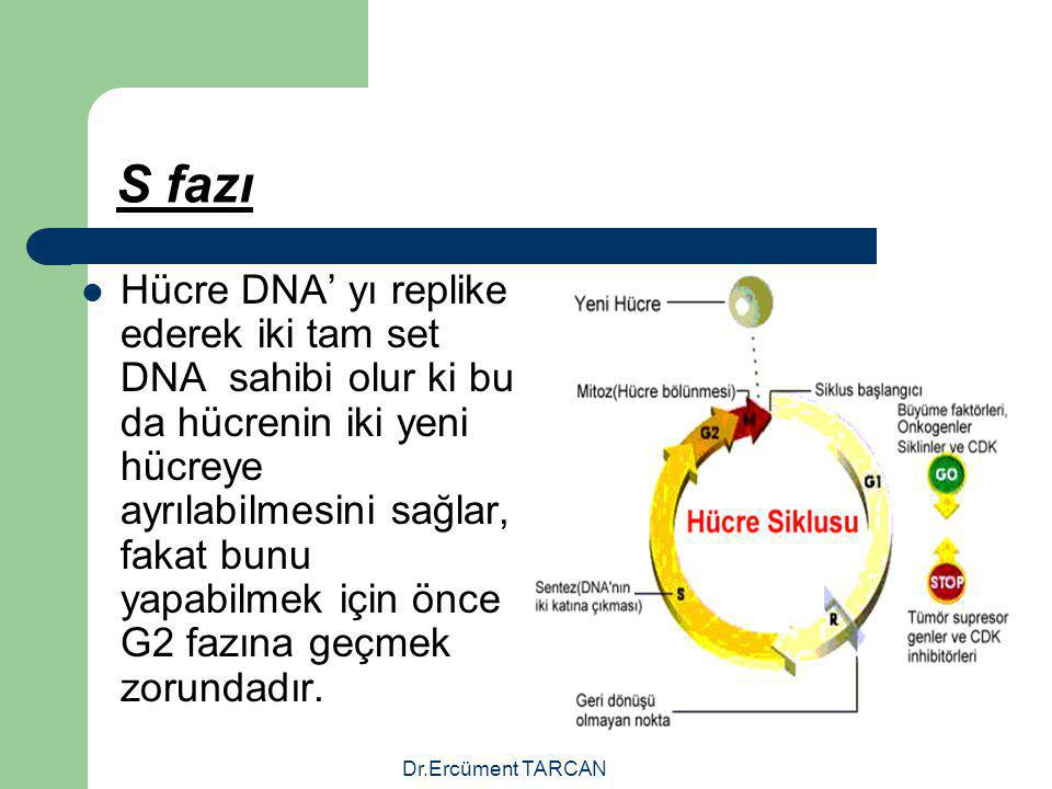 Dr.Ercüment TARCAN S fazı Hücre DNA' yı replike ederek iki tam set DNA sahibi olur ki bu da hücrenin iki yeni hücreye ayrılabilmesini sağlar, fakat bu